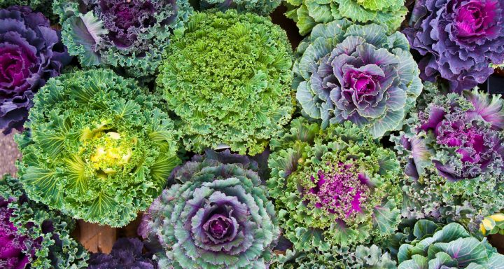 Plants, Winter, cabbage, leafy greens, cold weather, cold weather plants, garden, gardening